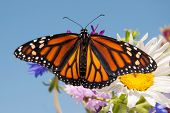 picture of monarch butterfly  - Colorful orange and black Monarch butterfly on summer flowers against clear blue sky - JPG