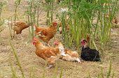 stock photo of poultry  - Ile de France poultry farming in Brueil en Vexin - JPG