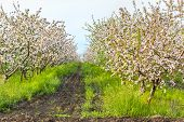 pic of orchard  - Blooming apple orchard at sunset on a sunny May evening - JPG