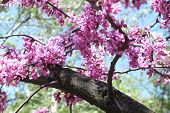 image of dnepropetrovsk  - photo on the tree of the garden city of Dnepropetrovsk. tree blossoms pink flowers.  ** Note: Shallow depth of field - JPG