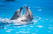 image of bottlenose dolphin  - pair of dolphins dancing in water poll - JPG