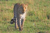 stock photo of leopard  - Isolated Male Leopard walking on the green grass on the plains of the Masai Mara in Kenya - JPG