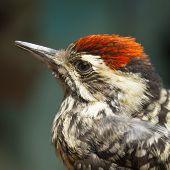 picture of woodpecker  - Little Bird Woodpecker - JPG