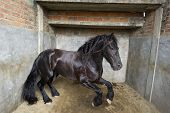 foto of stomp  - A powerful Stallion horse stomps and jumps in his stall - JPG