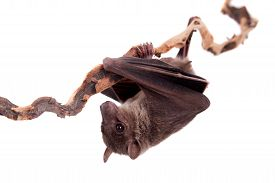 pic of vampire bat  - Egyptian fruit bat or rousette Rousettus aegyptiacus - JPG