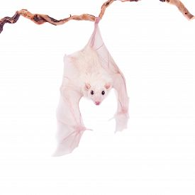picture of vampire bat  - Egyptian fruit bat or rousette Rousettus aegyptiacus - JPG