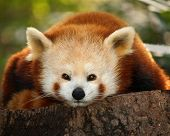 A Small Panda (Firefox) In Bronx Zoo