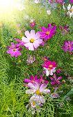 stock photo of cosmos flowers  - Beautiful  - JPG