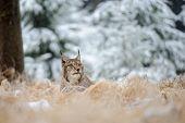 image of freeze  - Eurasian lynx lying on ground in winter time - JPG