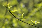 image of foreground  - branch with green spring leaves in the foreground - JPG