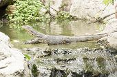 foto of salvation  - The water monitor or Varanus salvator is a large lizard native to South and Southeast Asia - JPG