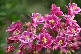 picture of columbine  - Fresh pink star columbine flower in summer time - JPG