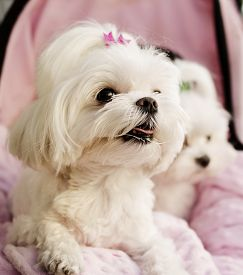 picture of maltese  - Maltese puppies pink background - JPG