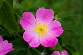 image of wild-brier  - Bright colorful flower wild rose with pink petals and yellow center closeup.On the green blurred background.