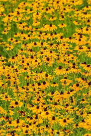 image of black-eyed susans  - Images taken of an early summer field of the wild Black-Eyed-Susan flowers found in Downingtown, Chester County PA.