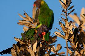 foto of lorikeets  - Rainbow lorikeet sitting in the bush and looking around - JPG