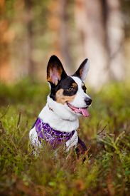 picture of corgi  - tricolor welsh corgi cardigan dog outdoors in autumn - JPG