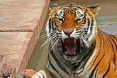 Ferocious Tiger poster