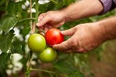 farming, gardening, agriculture, harvest and people concept - hands of senior farmer picking tomatoe poster