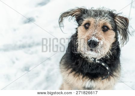 poster of Dog Looking Funny With Frosted Snow Over Nose In Winter - Cold Season. Winter Dog Portrait.