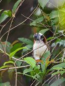 Geoffroys Tamarin (saguinus Geoffroyi) Small Monkey In Panama Rain Forest.   Aka  The Panamanian, Re poster