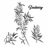 Seaberry Branches Hand Drawn Vector Illustration. Hippophae Twigs Ink Pen Sketch. Black And White Cl poster