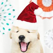 Portrait of a cute Golden Retriever puppy wearing a Santa hat poster