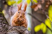 Squirrel In Autumn Park Forest. Squirrel With Nuts In Autumn Forest Park Scene. Autumn Squirrel Port poster