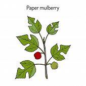 Paper Mulberry Broussonetia Papyrifera , Medicinal Plant. Hand Drawn Botanical Vector Illustration poster