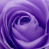 picture of rose close up  - close up of violet rose petals - JPG