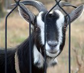 picture of cashmere goat  - picture of a goat in the backyard - JPG