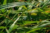Close Up Of Fresh Thick Grass With Water Drops After The Rain. Dew Drops On Green Grass In Latvia. B poster