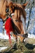 foto of clydesdale  - Horse Head - JPG