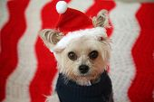 Small dog Christmas. A Morkie half Maltese - Yorkie dog smiles for his Christmas Portrait. Small Dog poster