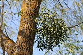 European Mistletoe (viscum Album) Parasitic Plant Growing On Tree poster