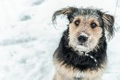 Dog Looking Funny With Frosted Snow Over Nose In Winter - Cold Season. Winter Dog Portrait. poster