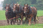 stock photo of horse plowing  - three rare suffolk punch draft horses plowing a field - JPG