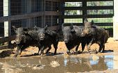 stock photo of razorback  - Caged wild boars run swiftly in their muddy pen - JPG