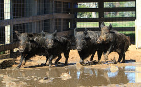 picture of javelina  - Caged wild boars run swiftly in their muddy pen - JPG