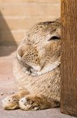 foto of thumper  - close up of a rabbit in resting mode - JPG