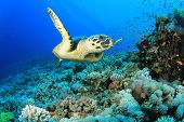 image of hawksbill turtle  - Hawksbill Sea Turtle on coral reef in the Red Sea - JPG