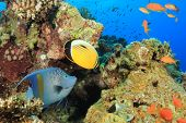 Tropical Fishes: Yellowbar Angelfish and Exquisite Butterflyfish