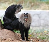 stock photo of ape  - Endangered and threatened endemic monkey of india  - JPG