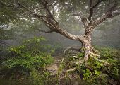 stock photo of creepy  - Creepy Fairytale Tree Spooky Forest Fog Appalachian NC Fantasy Landscape at Craggy Gardens in the Blue Ridge Mountains near Asheville North Carolina - JPG