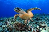 picture of undersea  - Hawksbill sea turtle in the coral reef - JPG
