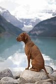 pic of vizsla  - pure breed Hungarian Vizsla show dogg sitting outddors by mountain lake - JPG