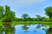 stock photo of cottonwood  - Swamp with Cypress Trees in Atchafalaya River Basin - JPG