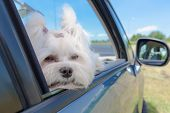 stock photo of car ride  - Small dog maltese sitting in a car with open window - JPG