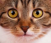 picture of yellow tabby  - Portrait of cute tabby with yellow eyes close - JPG