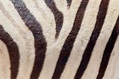 Burchells Zebra (equus Burchelli), Close-up